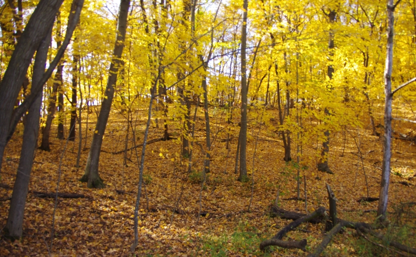 Arboretum woods with yellow-turned trees.