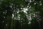 View of woodland canopy from the ground.
