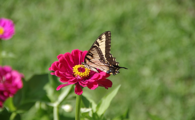 Yellow and black butterfly on a pink flower.